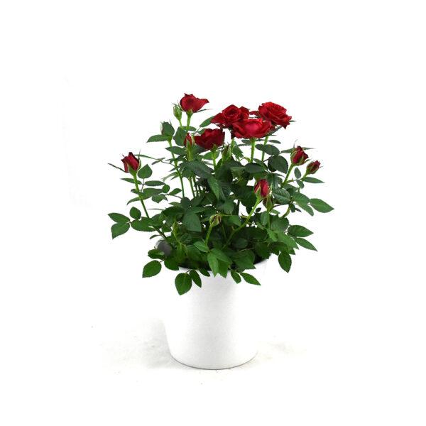Mini red rose plant