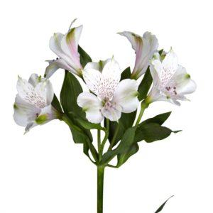 Αλστορμέρια Λευκή