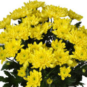 Χρυσάνθεμο Κίτρινο