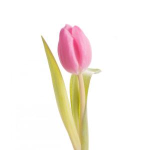 Τουλίπα Ροζ