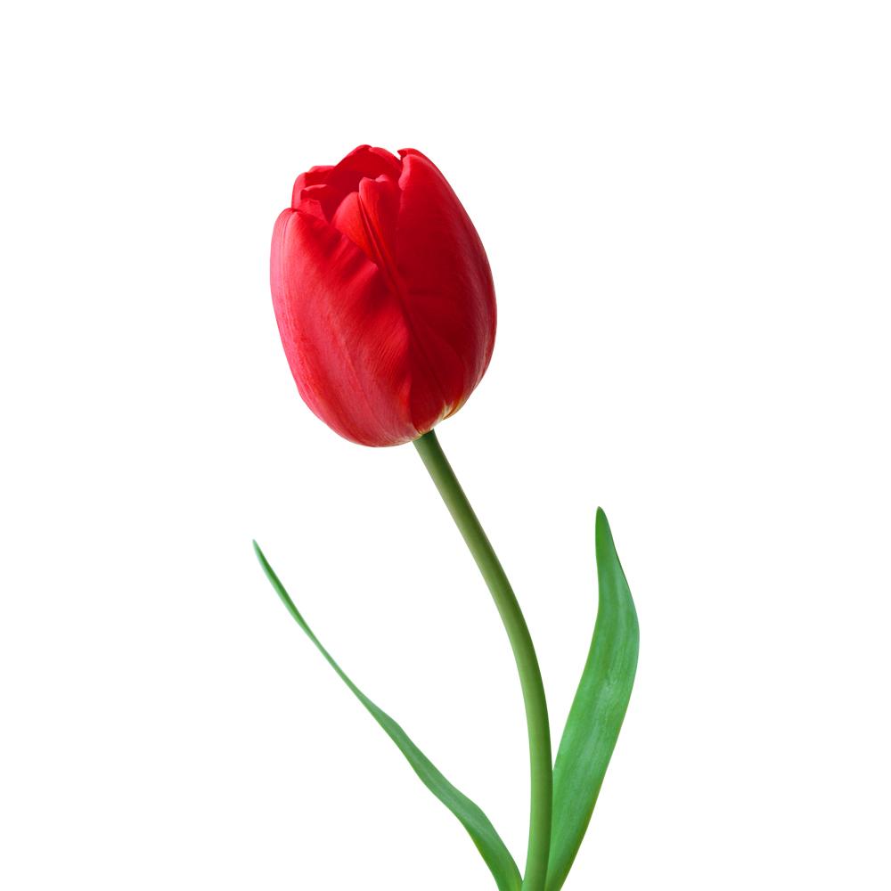Τουλίπα Κόκκινη