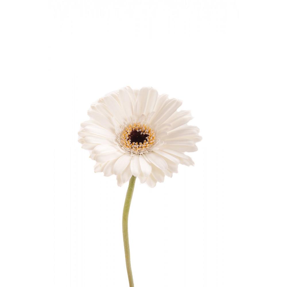 Ζέρμπερα Λευκή