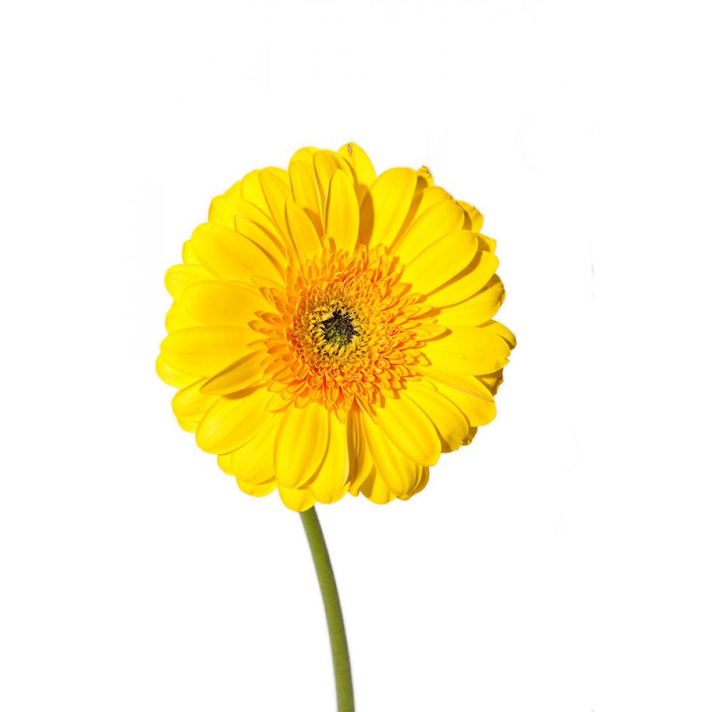 Ζέρμπερα Κίτρινη