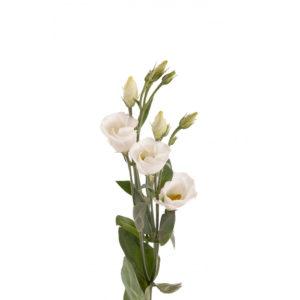Λυσίανθος Λευκός