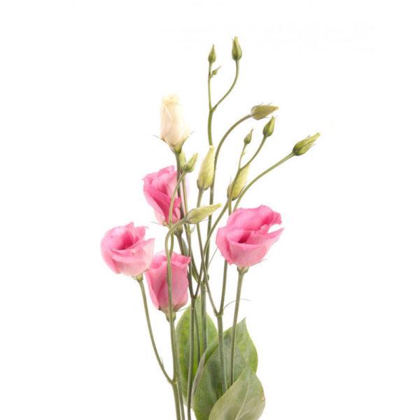 Λυσίανθος Ροζ