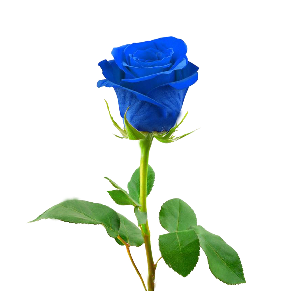 Τριαντάφυλλο Μπλε