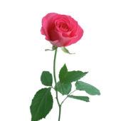 Τριαντάφυλλο Ροζ
