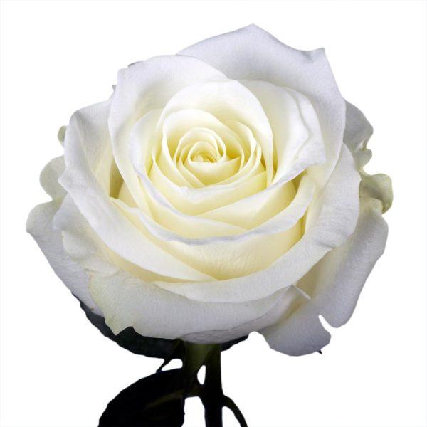Τριαντάφυλλο Λευκό