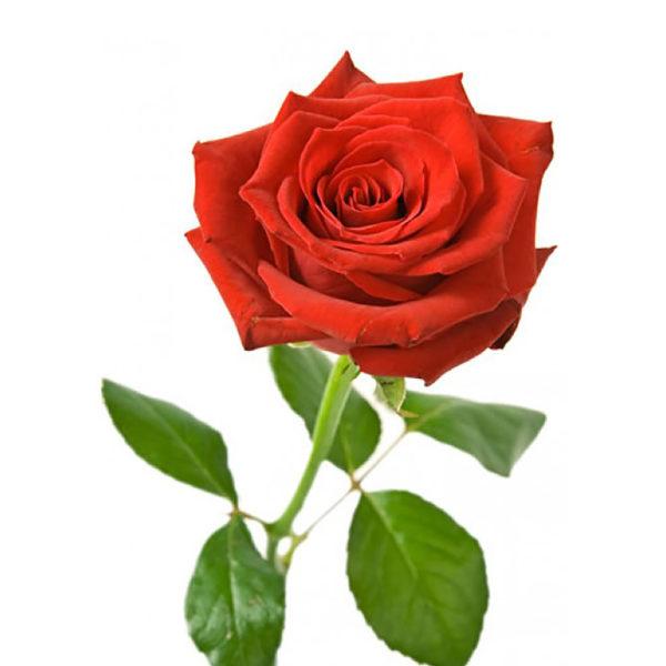 Τριαντάφυλλο Κόκκινο