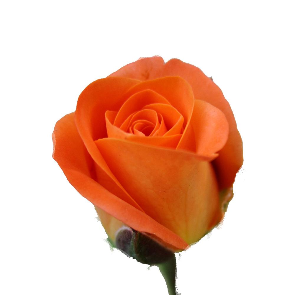 Τριαντάφυλλο Πορτοκάλι