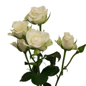 Μίνι τριαντάφυλλο Λευκό