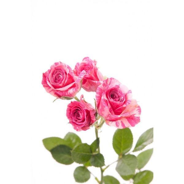 Μίνι τριαντάφυλλο Φούξια