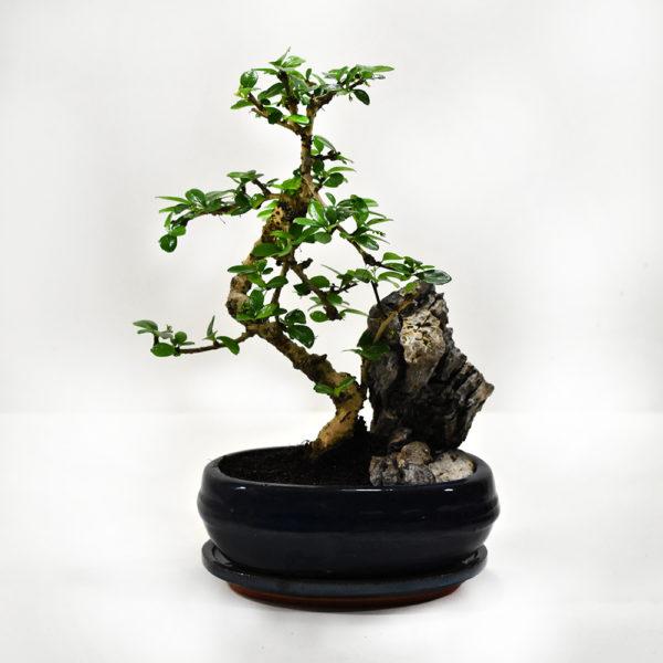 Μπονσάι με πέτρα