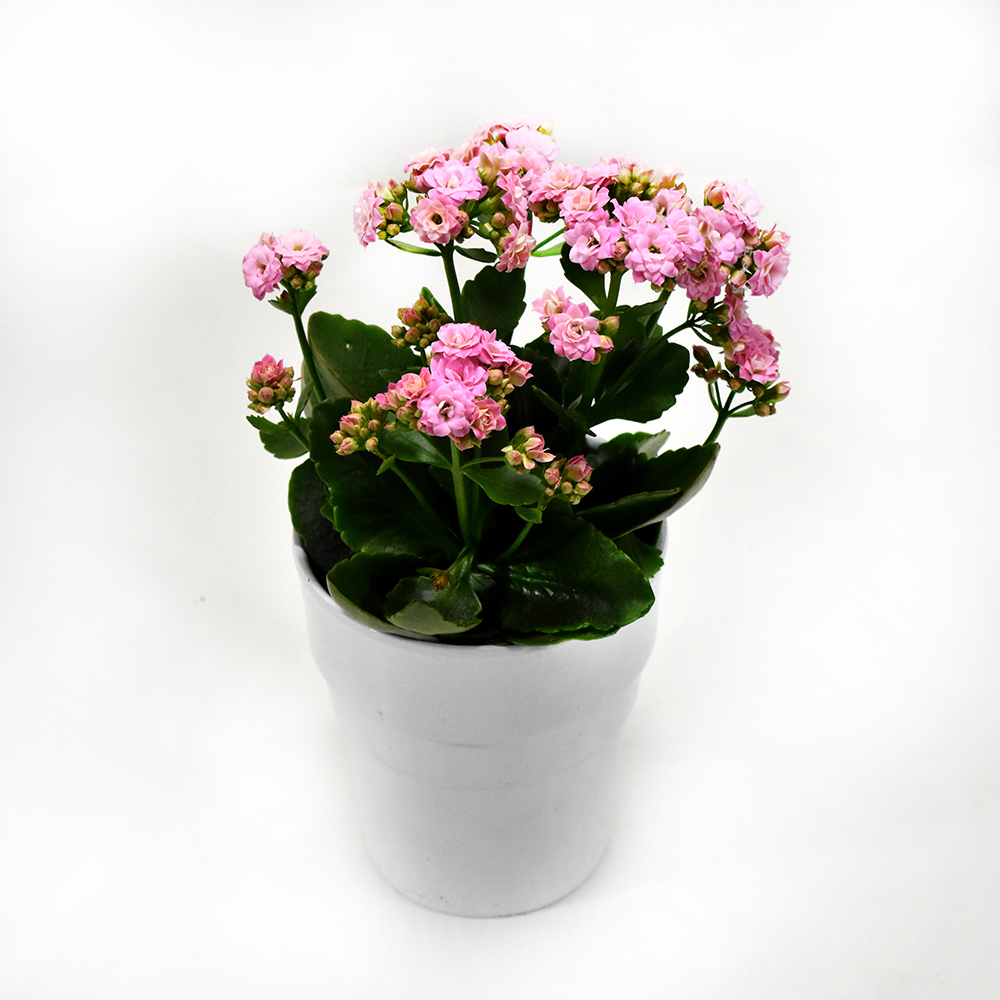 Καλανχόη ροζ