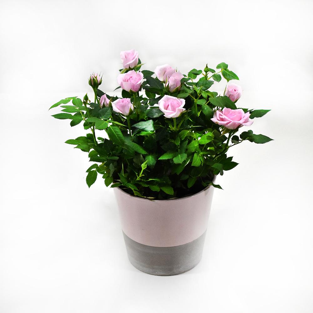 Τριανταφυλλιά ροζ