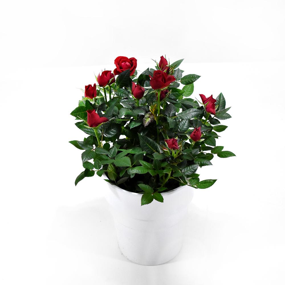 Τριανταφυλλιά κόκκινη